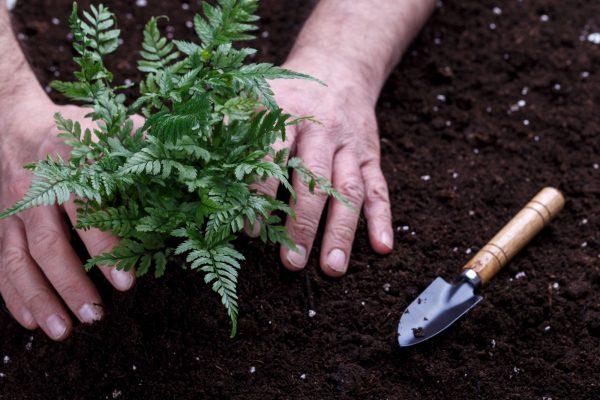 Mise en terre de plante dans une pépinière